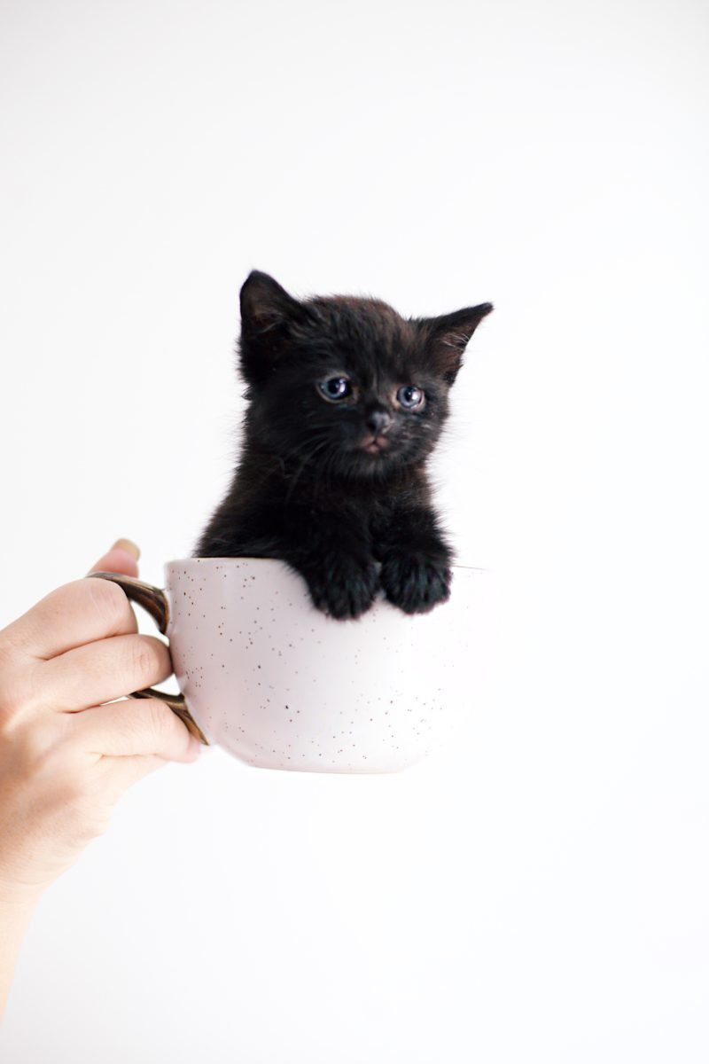 Kitten Care Tips: 5 Essentials you Need to Raise a Cat by popular lifestyel blogger Tabitha Blue of Fresh Mommy Blog: image of  hand holding a white tea cup with black kitten in it.